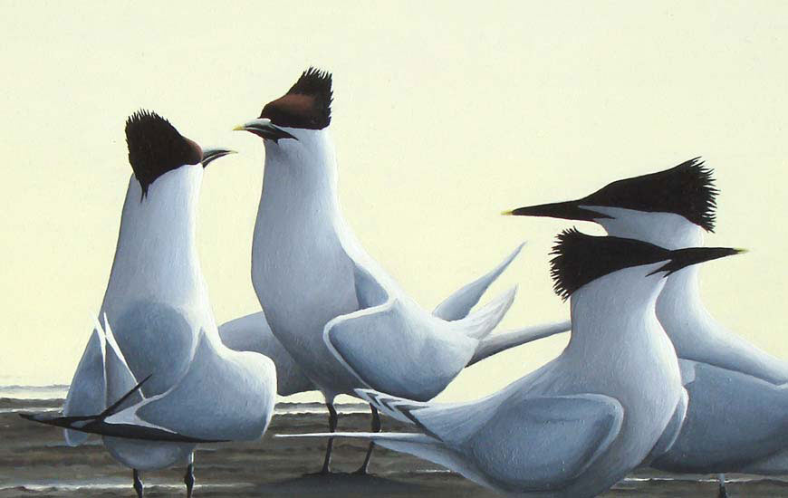 Sandwich Terns 'Evening Courtship' Print by Chris Lodge