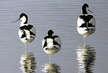 Avocets, a Limited Edition Print of an original acrylic painting of birds by bird artist Chris Lodge
