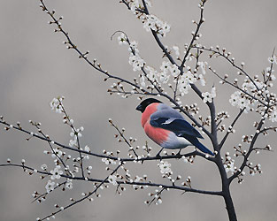 bullfinch and blackthorn Bird Print by Chris Lodge