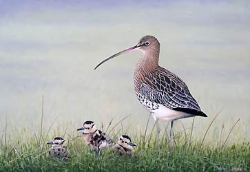 Curlew Chicks Bird Print by Chris Lodge
