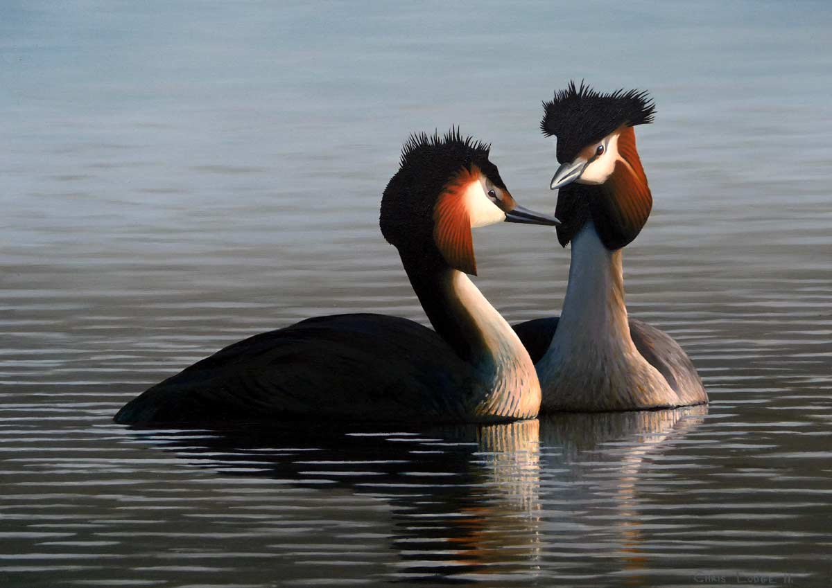 Great Crested Grebes Print- A Limited Edition Print By Chris Lodge