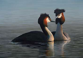 Great Crested Grebes Bird Print by Chris Lodge