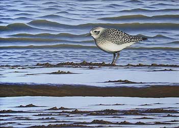 Grey Plover Bird Print by Chris Lodge