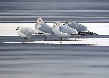 gulls Bird Print by Chris Lodge