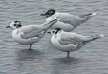 little gulls Bird Print by Chris Lodge