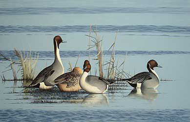pintails Bird Print by Chris Lodge