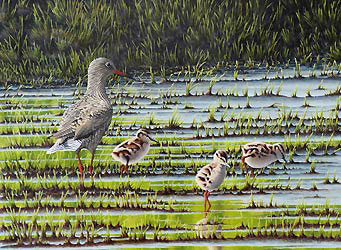 redshank Bird Print by Chris Lodge