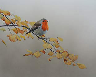robin in autumn beech Bird Print by Chris Lodge