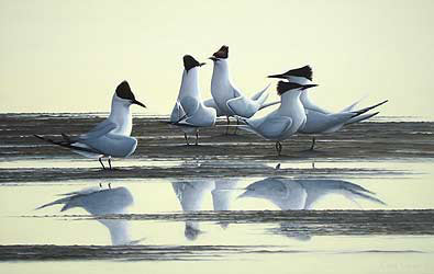 Sandwich Terns Evening Courtship Bird Print by Chris Lodge