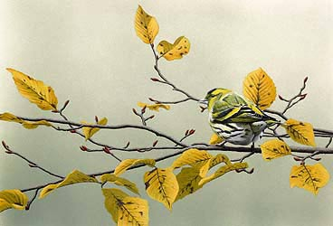 siskin Bird Print by Chris Lodge