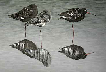 spotted redshanks Bird Print by Chris Lodge