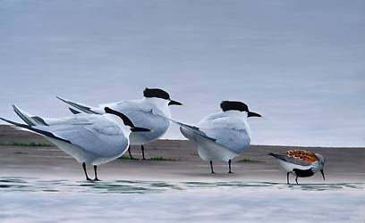 terns and dunlin Bird Print by Chris Lodge