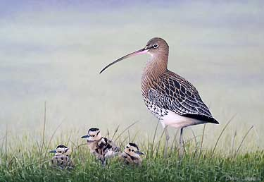 Curlew with Chicks, a Limited Edition Wildlife Art Print of an original oil painting of birds by wildlife artist Chris Lodge