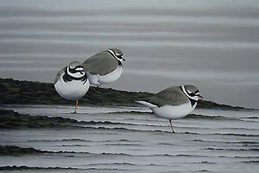 Ringed Plovers, a Limited Edition Bird Art Print of an original oil painting of birds by bird artist Chris Lodge