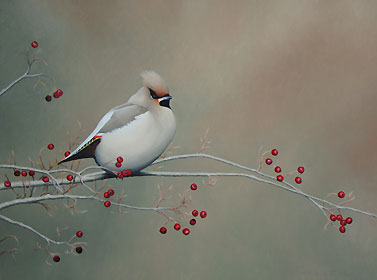 Autumn Waxwing, a Limited Edition Print of an original oil painting by bird artist Chris Lodge